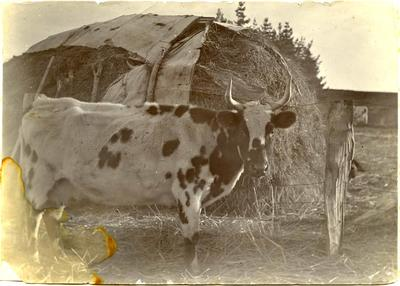 Cow beside a hay stack