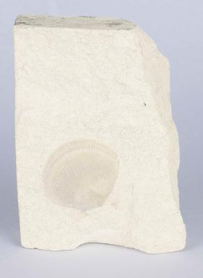 Fossil Scallop Shell in Limestone Block