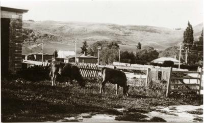 Cows at Bill O'Brien's, Ngapara.