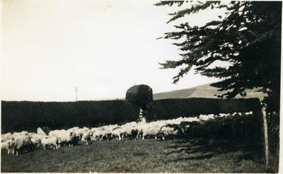 Sheep beside a hedge.