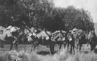 Pack Horses, Mules. Unidentified man