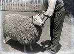 Sheep in garden. Elderslie Estate