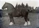 Clydesdale horse at Elderslie Estate