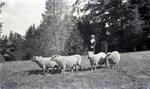 Unidentified woman with sheep. Elderslie Estate