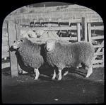 Sheep. Elderslie Estate
