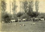 Bulls in a paddock