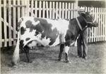 Monica of Haydowns, prize winning Ayrshire cow